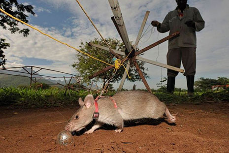 African pouched rats are trained to sniff out explosives.