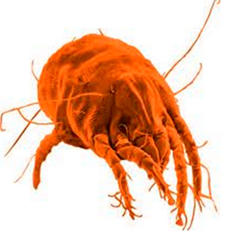 It is estimated as many as 1.5 million dust mites are crawling around in the average bed.