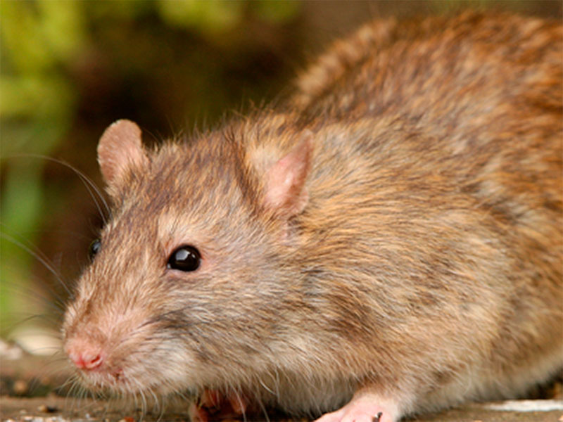 An abundance of spring flowering could lead to an eruption of rat populations next year.