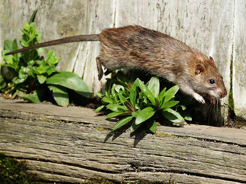 Rats will jump from a tree to a roof if there are overhanging branches.
