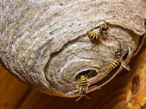 Prompt Action Commended After Wasps Found Nesting Pestco